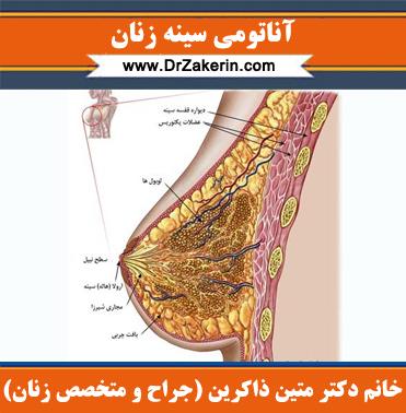 آناتومی سینه زنان